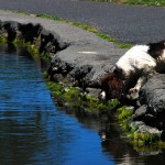 Spaniel looking into a river after a ball