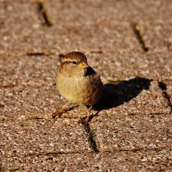 sparrow on the path